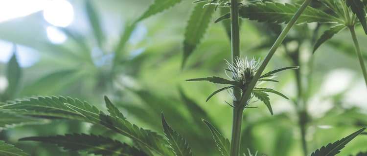 大麻成分THCとは?効果や効能・CBDとの違いを徹底解説!