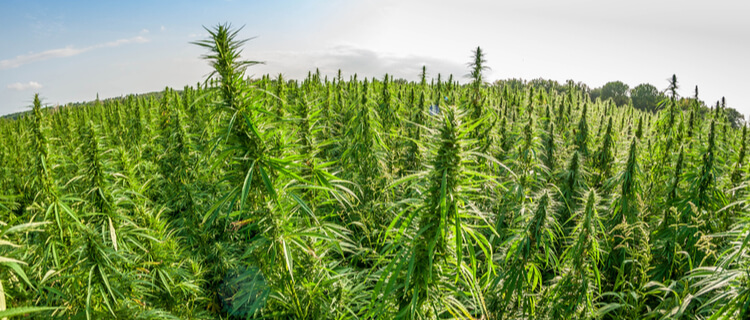日本で大麻が自生している場所は北海道。収穫はなぜ違法なのか説明します。