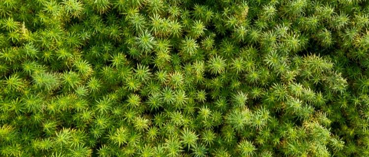 大麻とはアサの花冠や葉を乾燥させた薬物