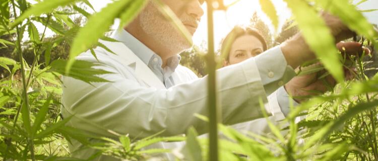 大麻の栽培・所持は禁止