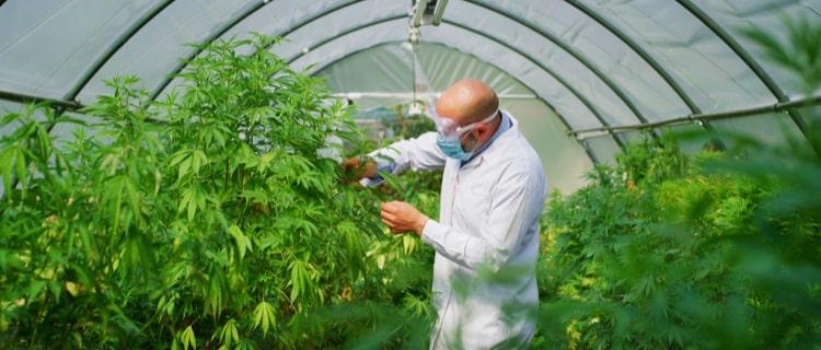 ダン・ビルツァーアンの大麻への配慮