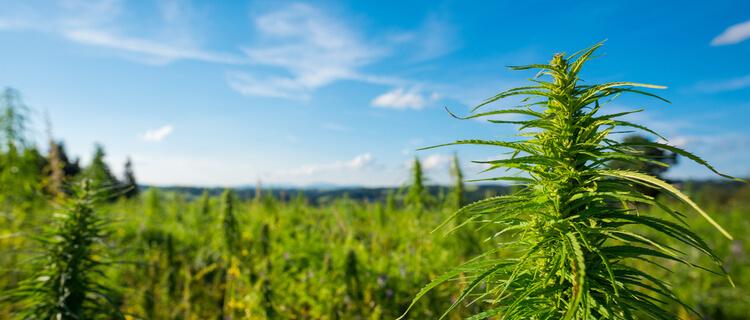 日本において自生大麻の収穫は違法