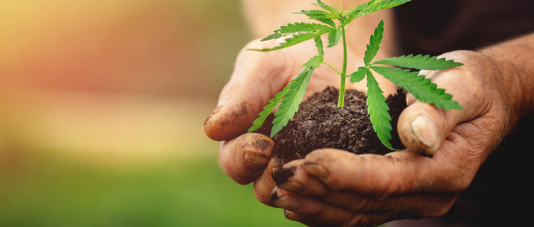 自生大麻を見つけたら?