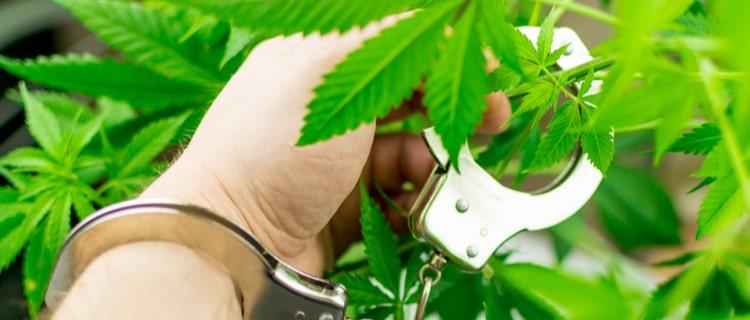 【大麻取締法】大麻使用以外は規制の対象!茎や種子は規制の対象外