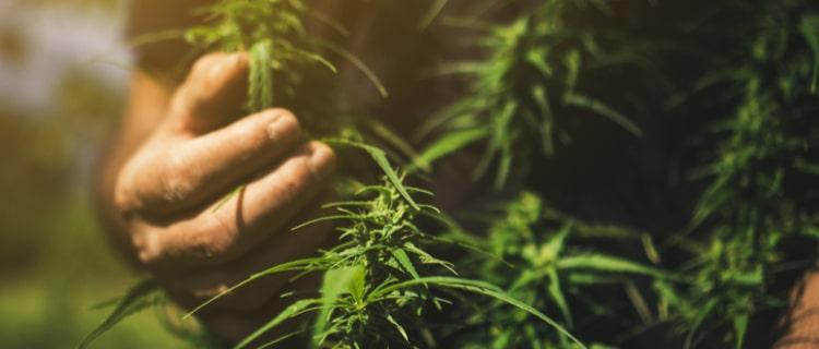 【徹底解説】THCを含む植物はある?大麻の成分カンナビノイドを含む6つの植物をご紹介!
