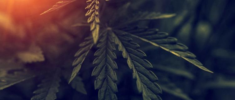 大麻合法国で増加!大麻成分の摂取が原因の救急搬送