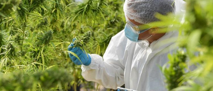 THCを含む植物はある?