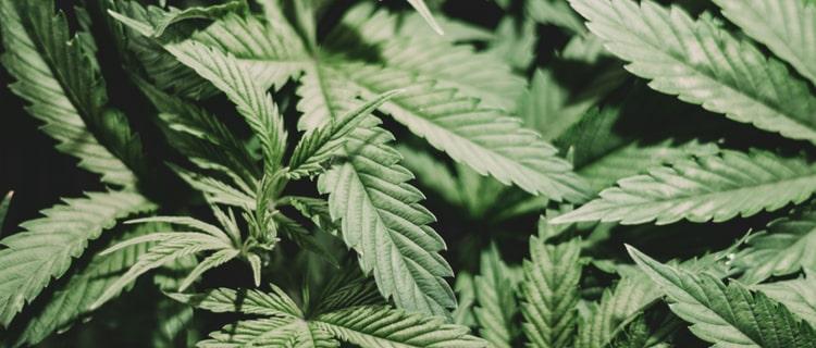 海外大麻市場への販路拡大 アメリカからカナダやイギリスへ