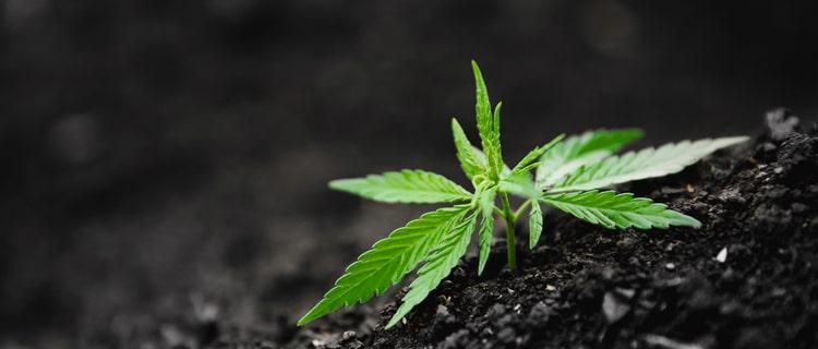 種類に関係なく日本で大麻は違法