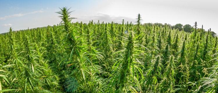 麻も大麻も同じ植物に由来