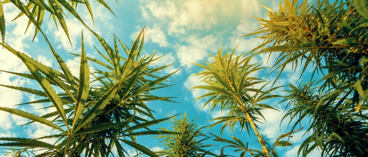 カンナビスカップとは世界最大の大麻の品評会!概要や日程をご紹介