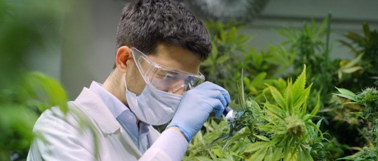 カンナビスは大麻の原材料!様々な気候で栽培できる植物