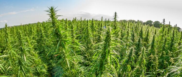 日本でグリーンラッシュにのるなら?大麻は日本では違法!大麻株に注目
