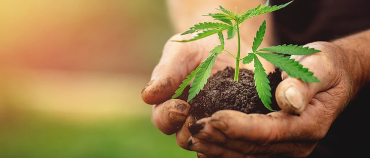 日本の大麻栽培の実情