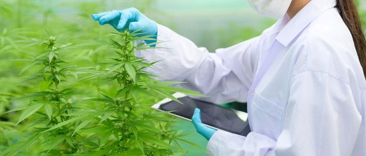 医療大麻の栽培も規制