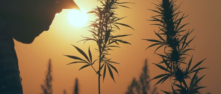 日本の大麻の現状は?日本で一番、麻を生産しているのは栃木県