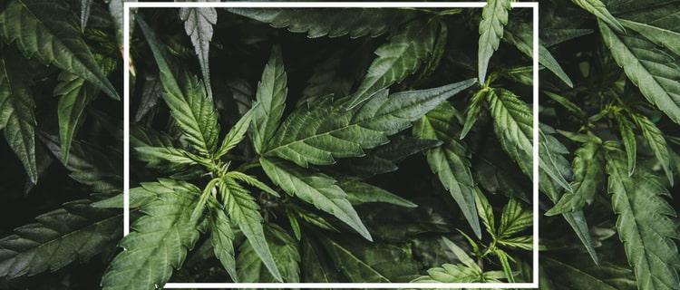 CBDとは 大麻草の茎や種子から抽出される合法成分!
