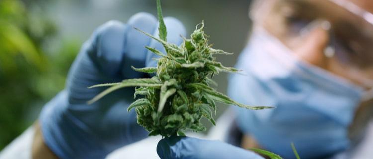 産業用大麻は薬効成分の低い品種