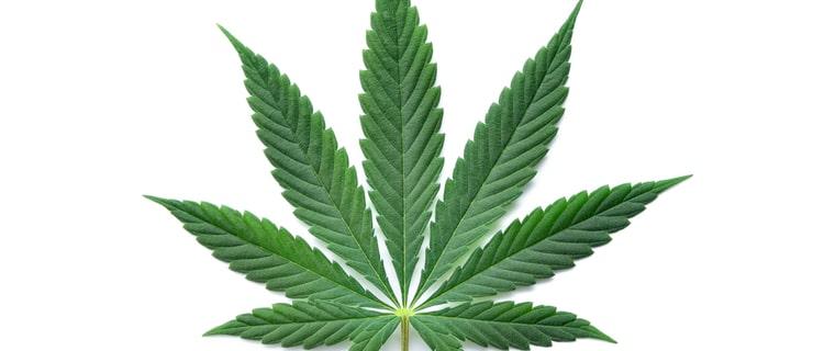 マリファナの葉