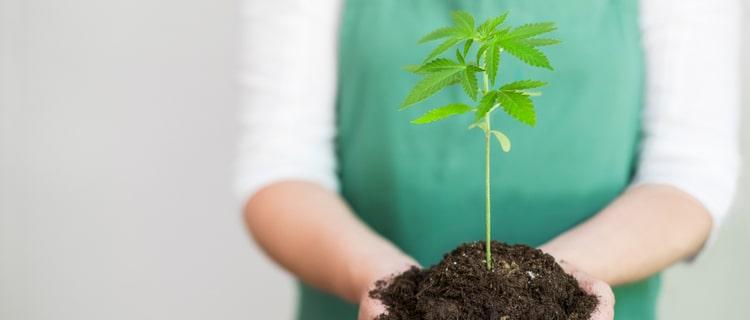 大麻の苗を持つ人