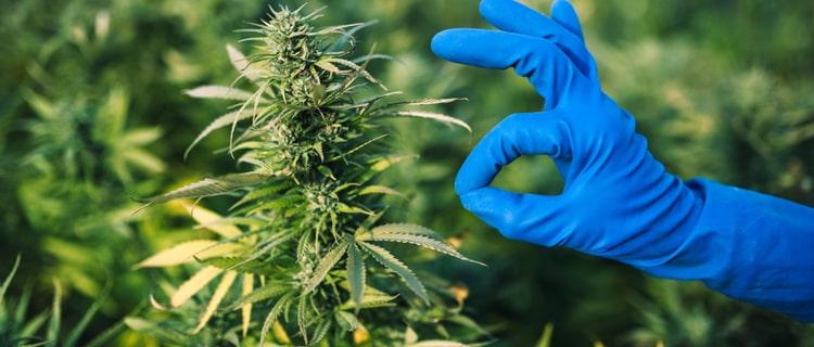 ディスペンサリーはどこにある?大麻が合法的に扱われる国家で展開