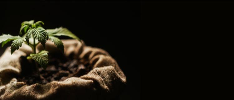 鳥取県 戦後初めて県内の大麻農家が復活した