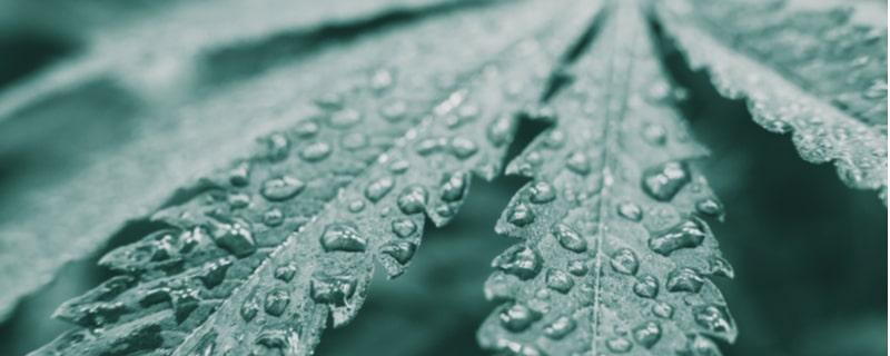 水滴のついた大麻の葉