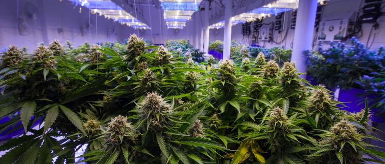 大麻栽培施設