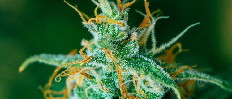 大麻トリコーム