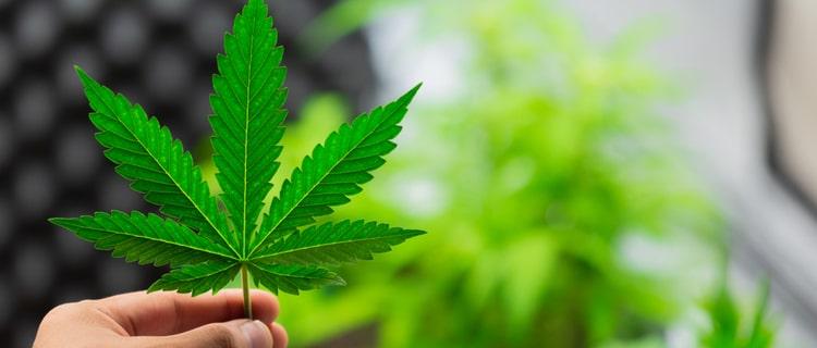 手に持った大麻の葉