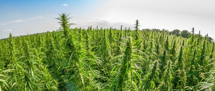 広大な大麻畑