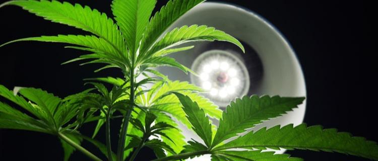 大麻と照明