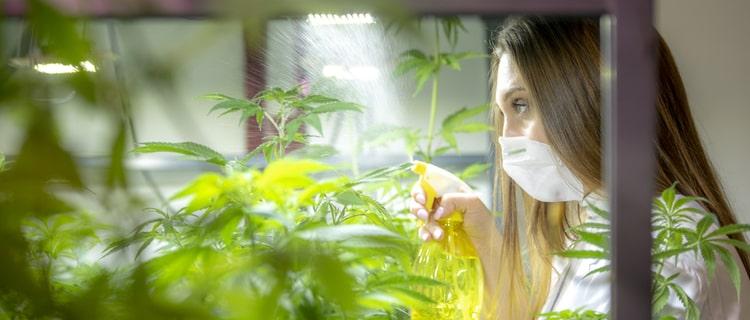 栽培中の大麻の発育をチェックする女性