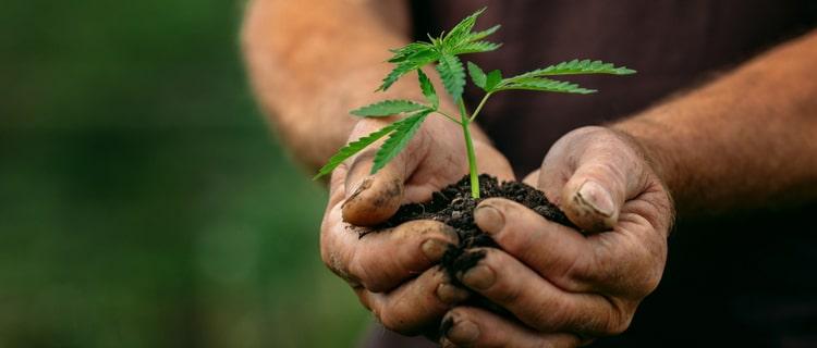 大麻の苗を持つ手