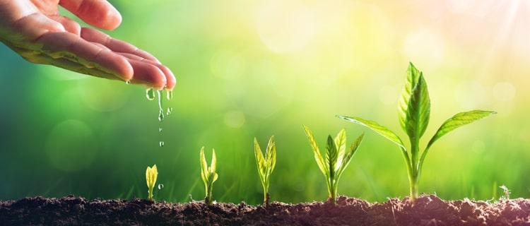 成長する大麻の苗に水を与える手