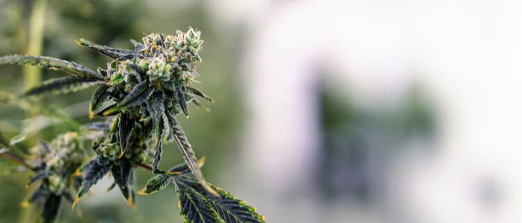 大麻の花芽