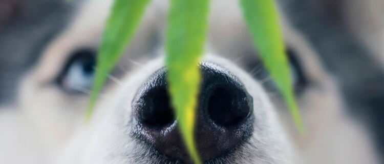 大麻と犬の鼻のアップ