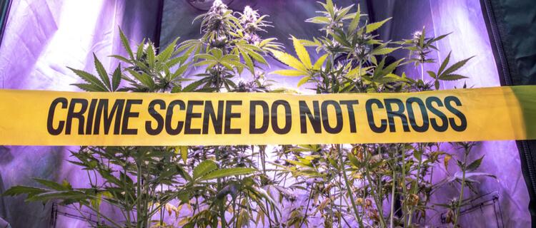 大麻栽培施設を横切るイエローテープ