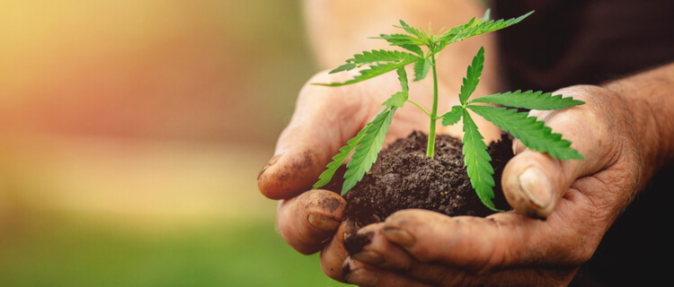大麻の苗を持つ両手