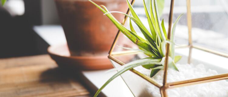 観葉植物のエアプランツ